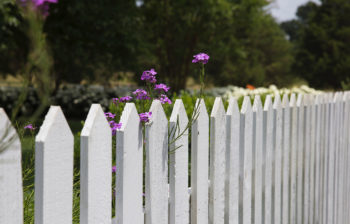 White picket fence with small purple flowers climbing the fence.