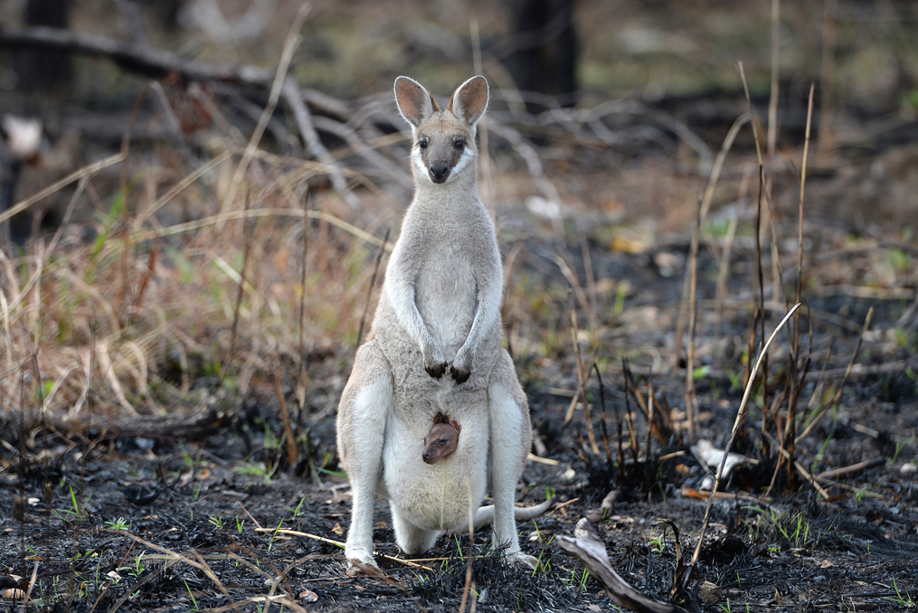 10,000 Reasons to Give $10,000 to Help the Australian Fires_Wildfire impact on wildlife wallaby standing in burnt grass