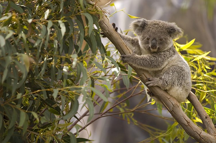 A lone Australian koala bear perched in a eucalyptus tree overlooking the scenery.